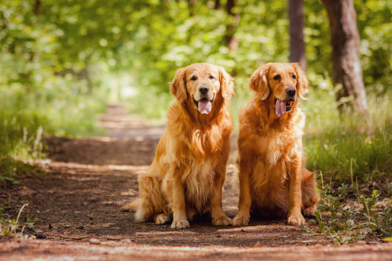 2 golden retriever